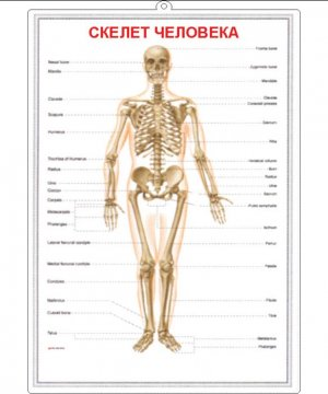 The study of the human skeleton