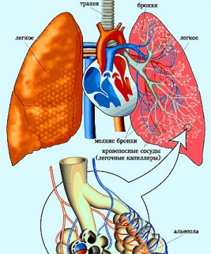 Studying the respiratory system structure and respiration
